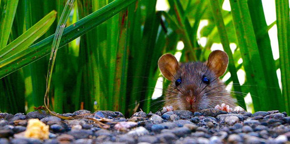 Plaga de hormigas c mo eliminar hormigas en casa - Como matar ratas en casa ...