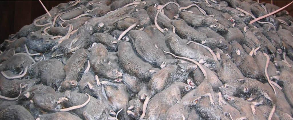 prevenir aparicion ratas ratones