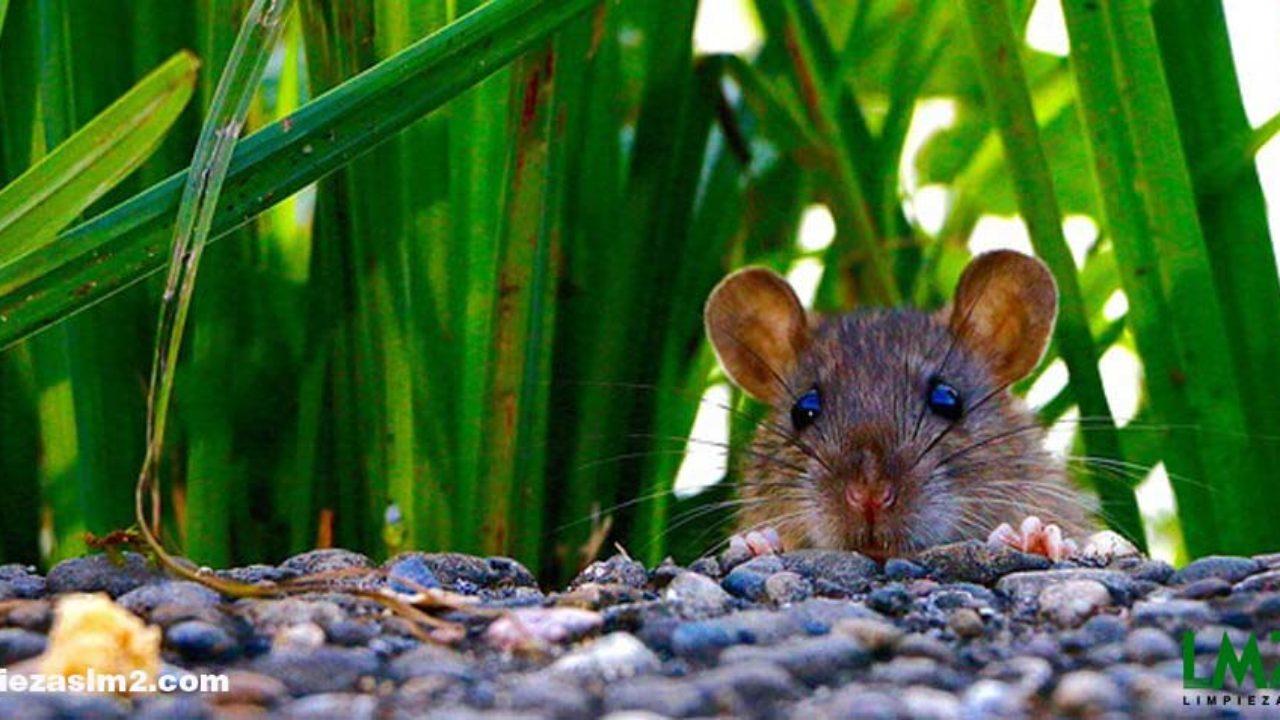 Como Matar Ratas Consejos Para Matar Ratones
