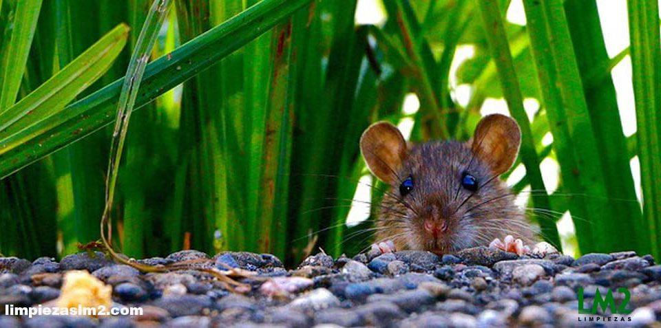 matarratas como acabar con plagas de ratas en casa